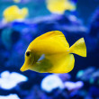 Tropical fish swims near coral reef — Stock Photo #50945803