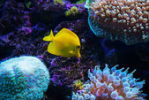 Tropical fish swims near coral reef — Stock fotografie