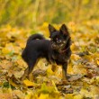 Brown chihuahua in park — Stock Photo