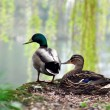 Ducks near the lake — Stock Photo
