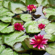 Water lilies in pond — Stock Photo