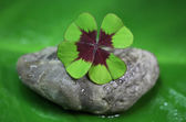 čtyři leaf clover — Stock fotografie