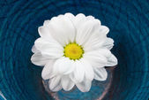 Chrysanthemum in water — Foto Stock
