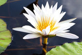 Blooming water lily — Stock Photo