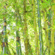 Wild Bamboo in rain forest  — Stock Photo