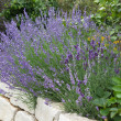 Lavender growing in garden — Stock Photo