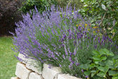 Lavender growing in garden — Stockfoto