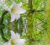 Bílá lilie — Stock fotografie