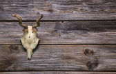 Antler or horn on wooden background. Hunting trophy. — Stock Photo