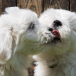 Big love: two baby dogs - Coton de Tulear puppies - kissing with — Stock Photo #47096619