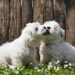 Big love: two baby dogs - Coton de Tulear puppies - kissing. — Stock Photo #47096855