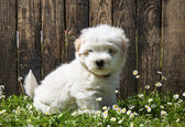 Dog portrait: Cute baby dog - puppy Coton de Tulear. — Stock Photo
