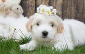 Portrait: Original Coton de Tuléar baby dog - soft like cotton. — Stock Photo