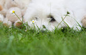 Cute little white dog lying in the green - witty concept with ba — Stock Photo