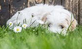 Baby dog: Coton de Tulear - puppy lying relaxed in the green. — Stock Photo