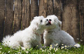 Big love: two baby dogs - Coton de Tulear puppies - kissing. — Stock Photo