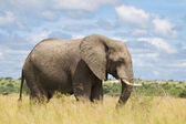 African elephant in the rainy season in South Africa. — Stock Photo