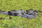 Mother and baby hippo in the Okavango Delta of Botswana. — Stock Photo