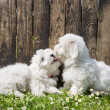Big love: two baby dogs - Coton de Tulear puppies - kissing with — Stock Photo #50102603