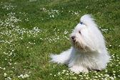 Portrait of a dog: Coton de Tulear. — Stock Photo