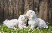 Big love: two baby dogs - Coton de Tulear puppies - kissing with — Stock Photo