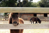 Ponies at a farm — Stock Photo