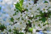Flowers apple cherry apricot — Stock Photo