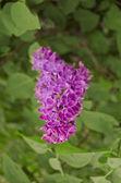 Syringa Lilac background — Stock Photo