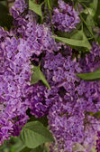 Syringa Lilac background — Stock Photo