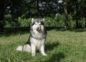 Alaskan Malamute in the park on the green grass — Stock Photo