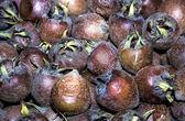 Medlar fruit — Stock Photo