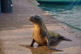 Sea lion at pelican bay — 图库照片
