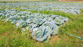 Cabbage field — Stock fotografie