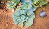 Green cabbage — Foto Stock