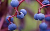 Closeup photo of wild grappes — Stock Photo