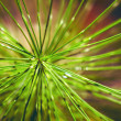 Foto de Stock  : Needles, coniferous branch of pine tree, close-up photo