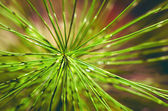Needles, the coniferous branch of pine tree, close-up photo — Stock Photo