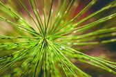 Needles, the coniferous branch of pine tree, close-up photo — Foto de Stock