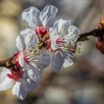 Closeup photo of the apple tree flowers — Stock Photo #49903495