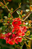 Closeup photo of chaenomeles flowers — Stock Photo