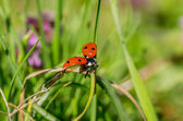 Soaring Ladybird on stalk of spring grass — Stock Photo
