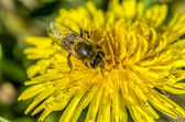 Bee, bathing in first rays of the sun — Stock fotografie