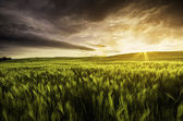Very atmospheric view of a wheat field at sunset with dramatic s — Stock Photo