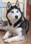 Siberian Husky portrait — Stock Photo