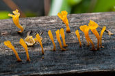 Close up of jelly fungus mushrooms — Stock Photo