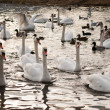 Stock Photo: Gaggle of swans and ducks