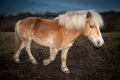 Walking braun horse — Stock Photo