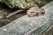 Frog on the phylum — Stock Photo