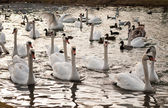 Gaggle of swans and ducks — Stock Photo