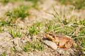 Common frog — Stock Photo